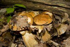 Free White Mushroom Family Royalty Free Stock Image - 15053806