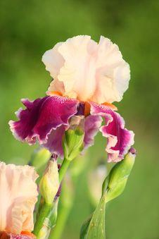 Free Iris Flower Stock Image - 15053941