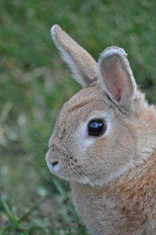 Free Staring Bunny Royalty Free Stock Image - 15054026