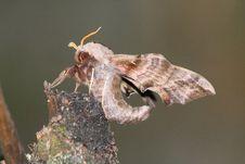 Hawk Moth (Smerinthus Ocellatus) Stock Images