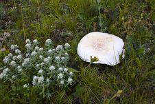 Free White Mushroom Stock Images - 15054204