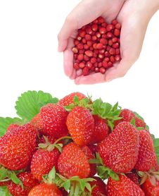 Free Strawberries Stock Photo - 15054670