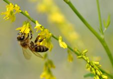 Free Bee On Flower Royalty Free Stock Images - 15056239