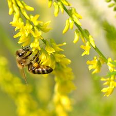 Free Bee On Flower Royalty Free Stock Photo - 15056245