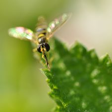 Free Bee On Leaf Royalty Free Stock Photos - 15056328