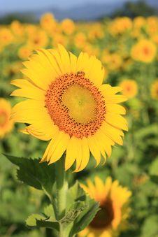 Free Single SunFlower On Field Stock Image - 15057221