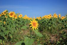 Free Besiege Sunflower Royalty Free Stock Photo - 15057375