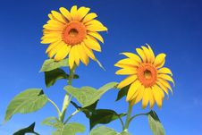Free Double Sunflower Royalty Free Stock Photo - 15057425