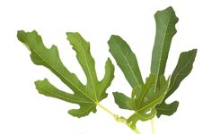 Free Fig Leafs With The Branch Stock Photo - 15057920