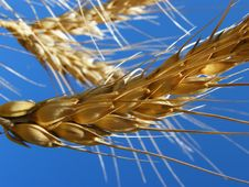 Free Ear Of Wheat Stock Photo - 15057930
