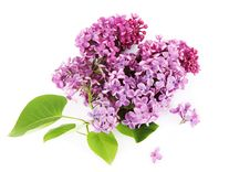 Free Lilac Stock Image - 15058281
