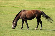 Free Grazing Horse On The Green Pasture Royalty Free Stock Image - 15058946