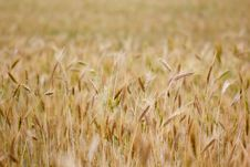 Free Rye Field Stock Images - 15059174