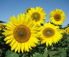 Free Sunflowers Royalty Free Stock Images - 15059379