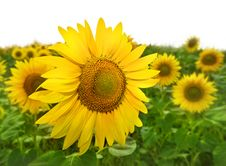 Free Yellow Sunflowers Royalty Free Stock Image - 15059606