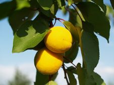 Free Apricot Stock Photo - 15059950