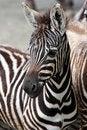 Free Young Zebra Stock Image - 15060041