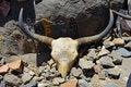 Free Holy Yak Skull Royalty Free Stock Photo - 15063645
