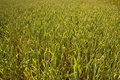Free Young Wheat Plants Stock Photography - 15065402