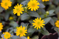 Free Bright Yellow Daisy On A Green Background Royalty Free Stock Photo - 15068495