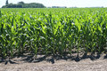 Free Corn Field Royalty Free Stock Images - 15069289