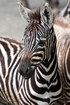 Free Young Zebra Stock Image - 15060041