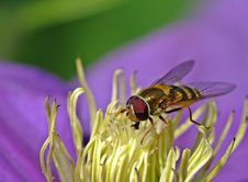 Free Wasp On  Flower Stock Photos - 15060333