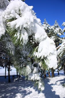 Free Fir-tree With Snow Royalty Free Stock Images - 15061349