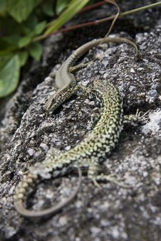 Lizards Royalty Free Stock Image