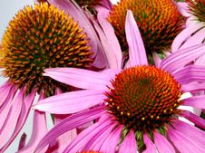 Echinacea Royalty Free Stock Image