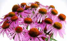 Echinacea Stock Photos