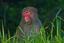 Free Female Japanese Macaque Sitting In Long Grass Royalty Free Stock Image - 15062516