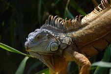 Free Iguana Royalty Free Stock Photography - 15062597