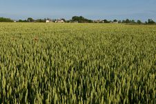 Free Green Rye Field Stock Image - 15062791