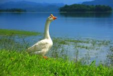 Free Gaggle Of White Goose Royalty Free Stock Images - 15063189