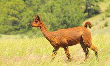 Free Red Llama Royalty Free Stock Image - 15063556