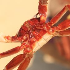 Free Paunch Of A Crab. Royalty Free Stock Photos - 15063668