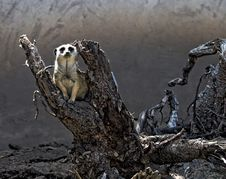 Free Guard Meerkat Stock Photos - 15063783