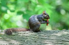 Free Squirrel Eats A Snack Royalty Free Stock Image - 15064246