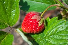 Free Strawberry Stock Photos - 15065203
