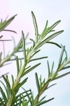 Free Rosemary Plant Royalty Free Stock Photos - 15065448