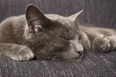 Free Sleepy Gray Cat Stock Image - 15065511