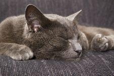 Free Sleepy Gray Cat Stock Image - 15065511