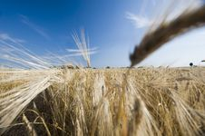Free Ear Of Wheat Stock Photos - 15065523
