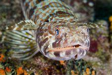 Free Lizardfish Stock Images - 15065664