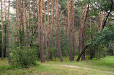 Free Pine Grove Stock Photo - 15065690