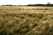 Free Green Wheat Field Royalty Free Stock Images - 15065719