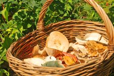 Various Summer Mushrooms In A Basket Royalty Free Stock Photography