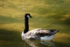 Free Canadian Goose Stock Photo - 15065810