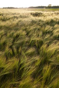 Free Green Agricultural Fields Royalty Free Stock Photography - 15066007